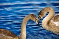 在爱,心脏形状的两只天鹅 免版税库存照片