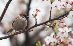 在爽快开花树的树麻雀鸟 免版税图库摄影