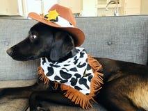 在牛仔穿戴的害怕的拉布拉多小狗 库存照片