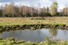 在牛前面牧群的Waterhole  免版税库存照片