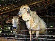 在牛的亚洲白色母牛 免版税库存照片