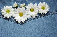 在牛仔布织品的翠菊 免版税库存图片