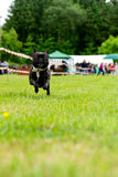 在牛头犬法国草绿色愉快的运行中间 免版税库存图片