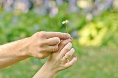在牛仔裤打扮的女孩拿着一朵春黄菊花在她的膝部在夏日 库存照片