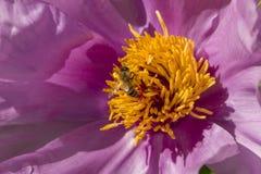 在牡丹花的蜂蜜蜂 免版税图库摄影