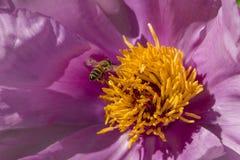 在牡丹花的蜂蜜蜂 库存照片