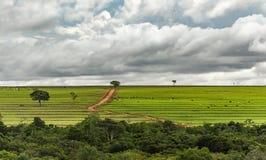 在牧场地、土路和有些树的牛 免版税库存图片