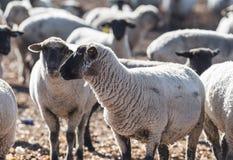 在牧场地吃葱的五颜六色的绵羊 免版税库存图片
