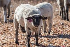 在牧场地吃葱的五颜六色的绵羊 免版税库存照片