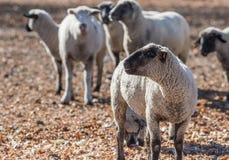 在牧场地吃葱的绵羊 免版税图库摄影