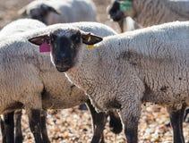 在牧场地吃葱的绵羊 库存照片