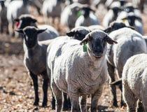 在牧场地吃葱的绵羊 库存图片