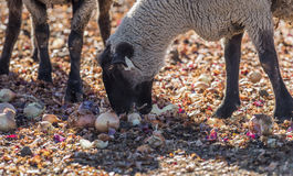 在牧场地吃葱的绵羊 免版税库存照片