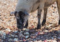 在牧场地吃葱的绵羊 免版税库存图片
