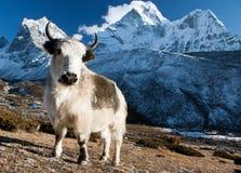 在牧场地和ama dablam的牦牛 免版税库存图片