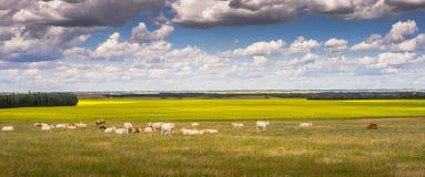在牧场地的一头听说的小牛 免版税库存图片