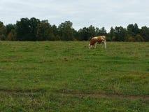 在牧场地的一头母牛 免版税图库摄影