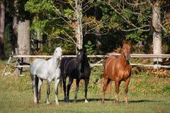 在牧场地的三匹马 库存照片