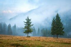 在牧场地的三棵云杉的树 库存图片