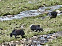 在牧场地的三头牦牛在河附近 免版税图库摄影