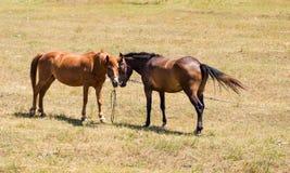 在牧场地的两匹幼小拥抱马 图库摄影