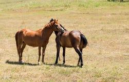 在牧场地的两匹幼小拥抱马 免版税库存照片