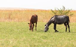 在牧场地的两匹马自然的 库存照片