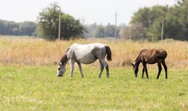 在牧场地的两匹马自然的 库存图片