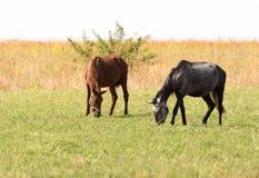 在牧场地的两匹马自然的 免版税库存图片