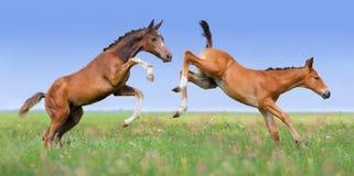 在牧场地的两匹马驹戏剧 库存图片