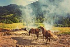 在牧场地的两匹马 图库摄影