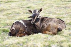 在牧场地的两只山羊在Geech野营, Simien山 免版税库存图片