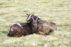 在牧场地的两只山羊在Geech野营, Simien山 库存图片