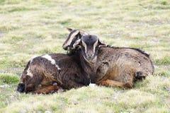 在牧场地的两只山羊在Geech野营, Simien山 免版税库存照片