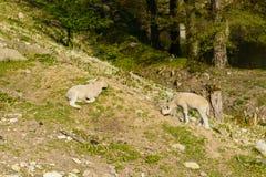 在牧场地的两只羊羔日落的 免版税库存照片
