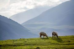 在牧场地的两只绵羊山的 免版税库存图片