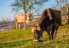 在牧场地的两头母牛在秋天 图库摄影