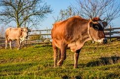 在牧场地的两头母牛在秋天 免版税库存图片