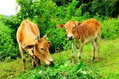 在牧场地的两头母牛 库存图片