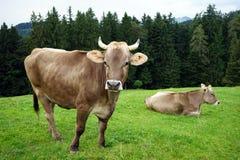 在牧场地的两头母牛 免版税库存照片