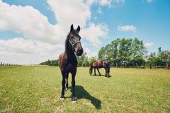 在牧场地的二匹马 库存照片