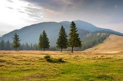 在牧场地的云杉的树 免版税库存图片
