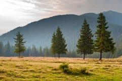 在牧场地的五棵云杉的树 免版税图库摄影