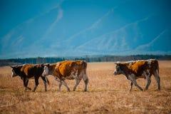 在牧场地的健康和营养充足母牛山的,与选择聚焦 免版税库存图片