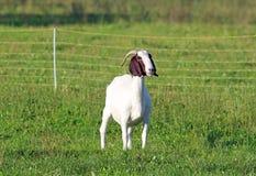 在牧场地的公山羊 图库摄影