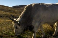 在牧场地的公牛 免版税库存图片