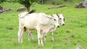 在牧场地的公牛 股票视频