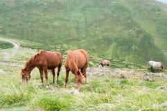 在牧场地的几匹马 免版税库存图片