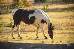 在牧场地的吃草的母马 免版税库存图片