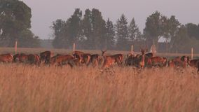 在牧场地的囚禁增长的公和母大型装配架鹿牧群  全景 4K 股票录像